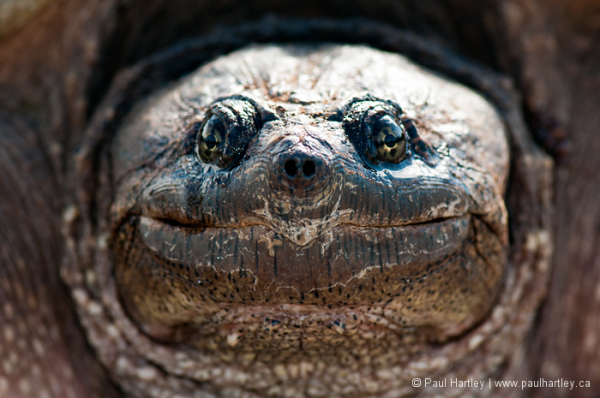 close up of snapping turtle face