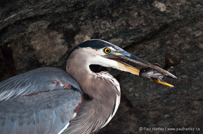 side view of great blue heron with fish