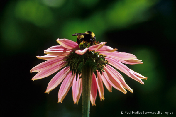 bumble bee on purple cone flower
