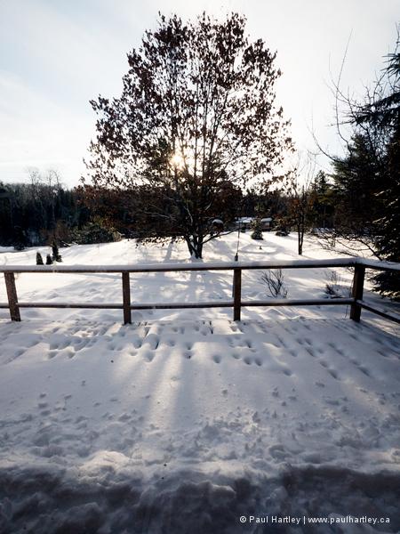 oak tree and deck