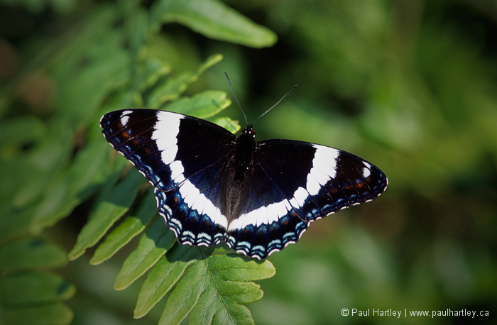 mourning cloak butterfly on fern leaves