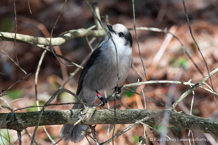 Grey Jay aka Canada Jay