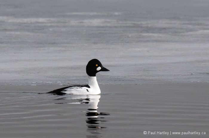 Goldeneye in icy water