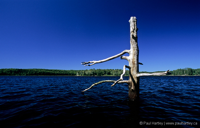 Dead tree in lake