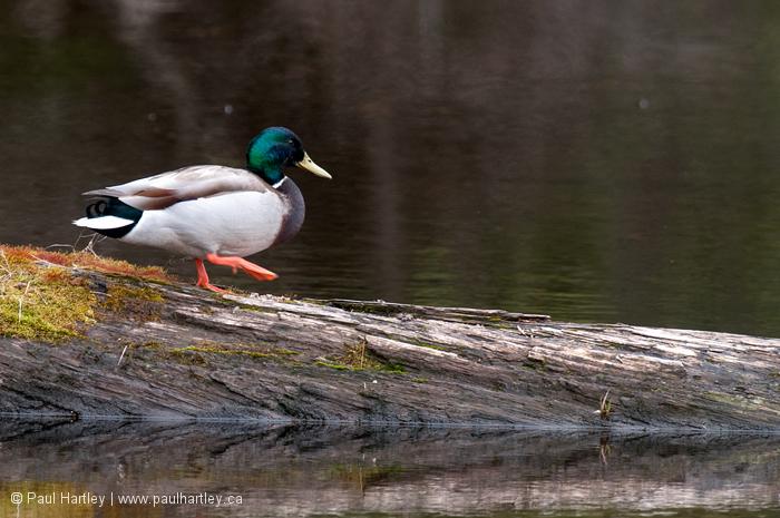 Mallard duck walking to water