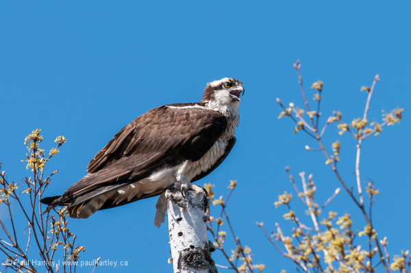 Osprey perched on birch tree