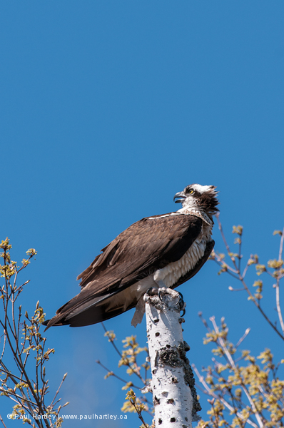 Osprey looking back