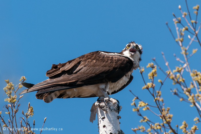 Osprey perched on birch tree