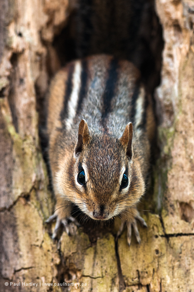 Chipmunk in tree trunk