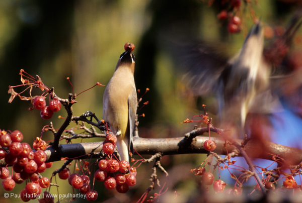 Bohemian waxwing eating crab apples