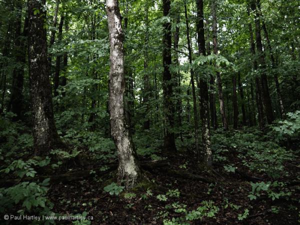 Birch tree in dark forest