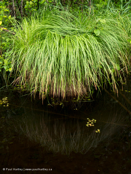 Water grasses