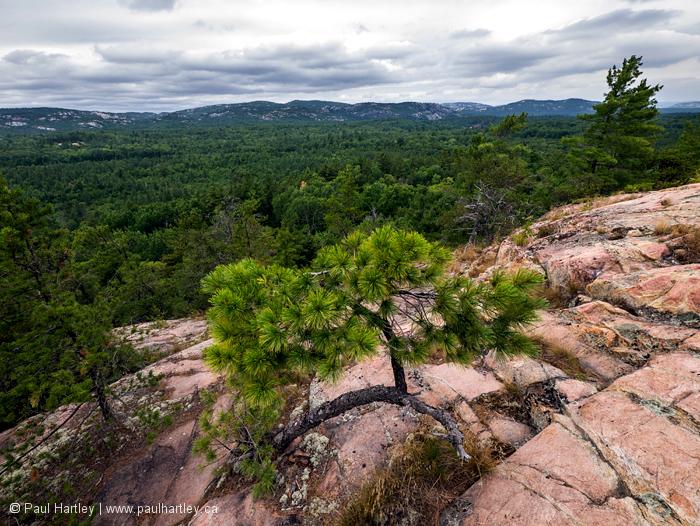 Small pine trees on rock Killarney Provincial park
