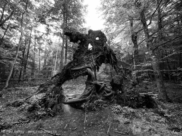 Roots of a fallen tree in the forest