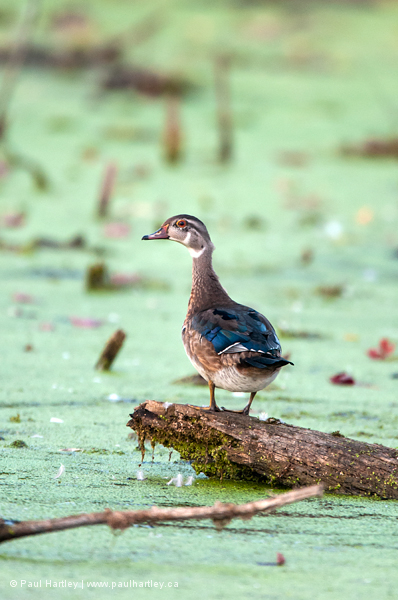 Female wood duck on a log in a swamp