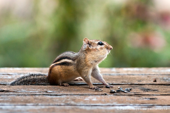 Chipmunk with filled cheeks