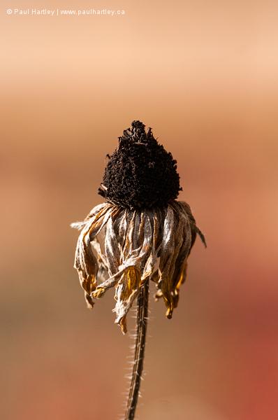 Black Eyed Susan in autumn