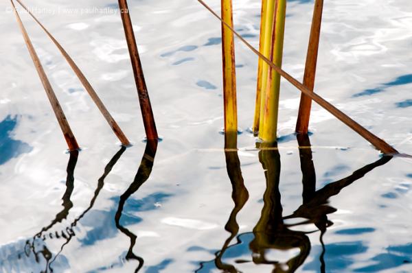 bulrush leaves in water