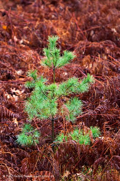 Pine tree in autumn