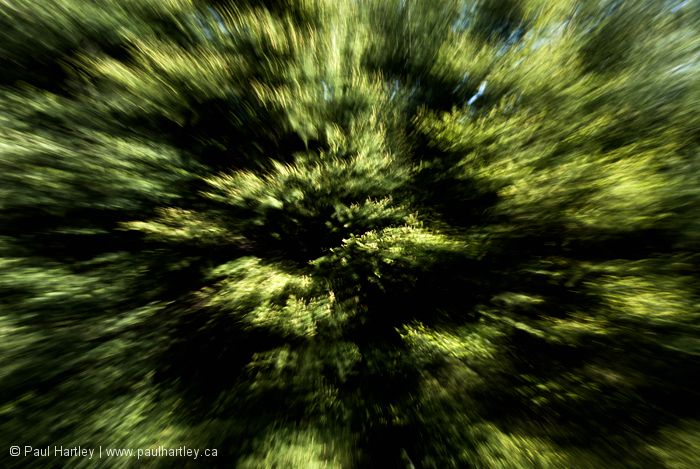 Spruce tree abstract