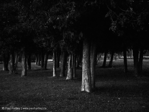 Dark cedar trees