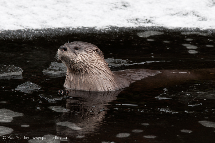 River Otter Algonquin Park