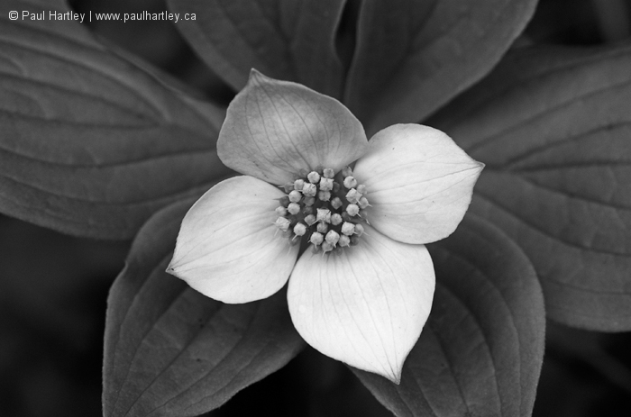 Black and White Bunchberry