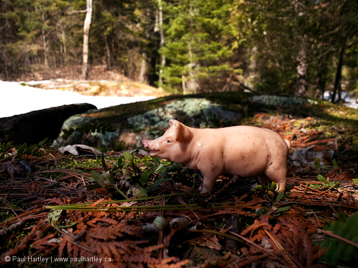 Plastic pig in a forest