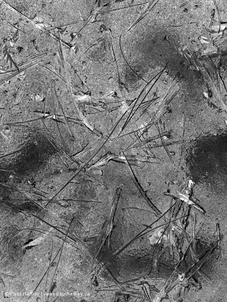 pine needles in ice