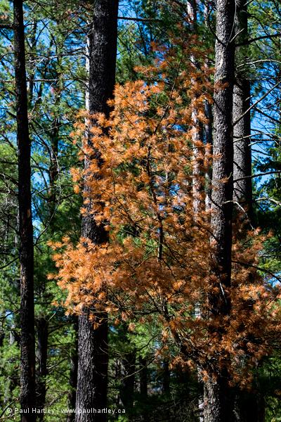 rust coloured pine