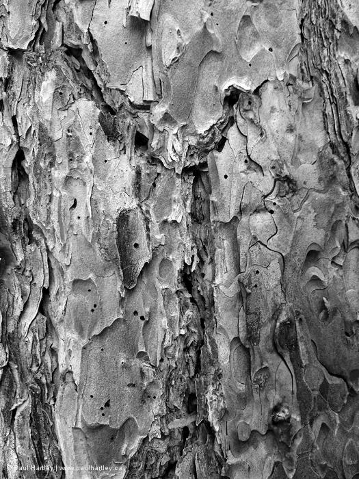 black and white red pine bark