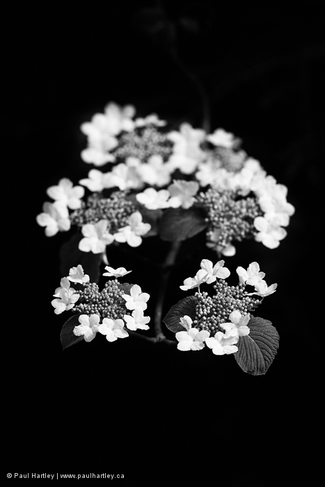 Black and white wildflower