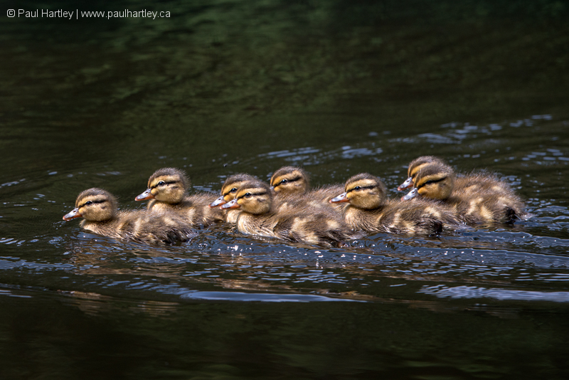 Mallard Ducklings Swimming