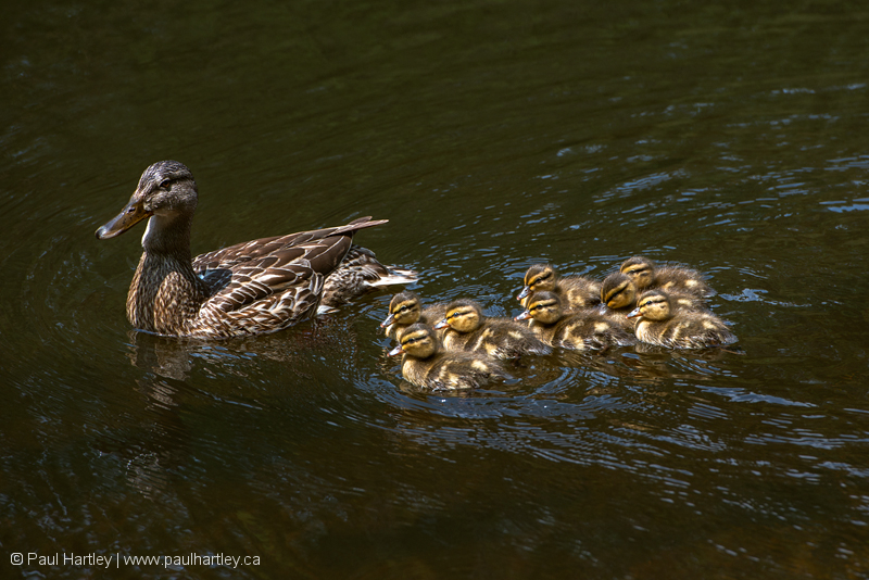 female mallard with young