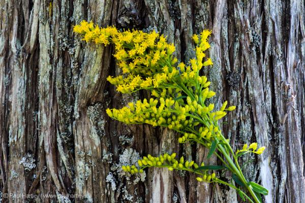 goldenrod against cedar tree