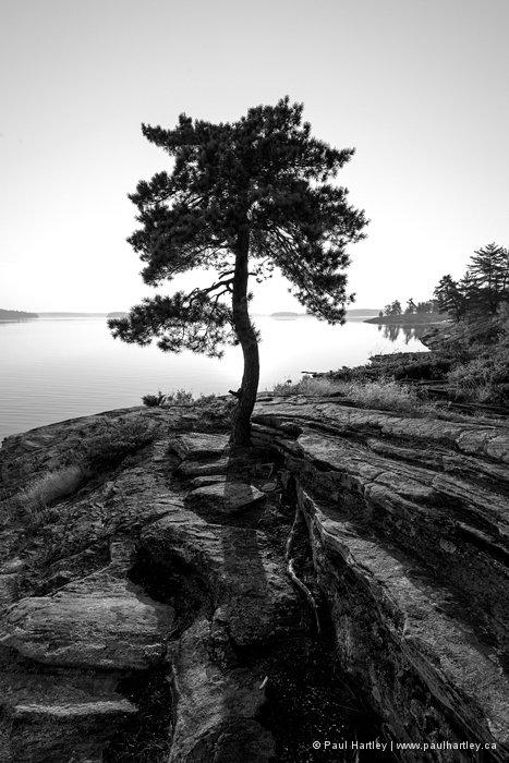 blaxk and white pine tree at killbear