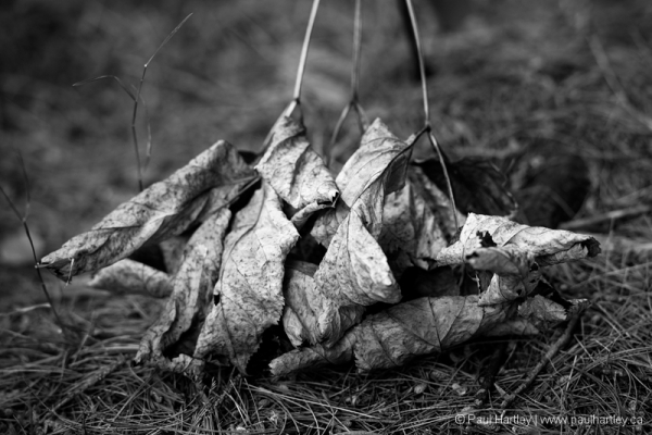black and white dry leaves
