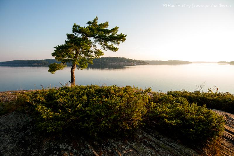 pine tree at sunrise Killbear Provincial Park