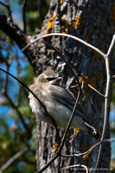 Cedar Waxwing Fledgling