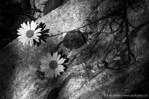 Black and white daisy's