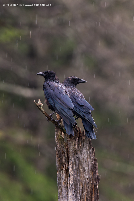 Two Crows in the rain