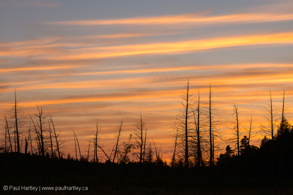 Dead trees silhouetted against a sunset