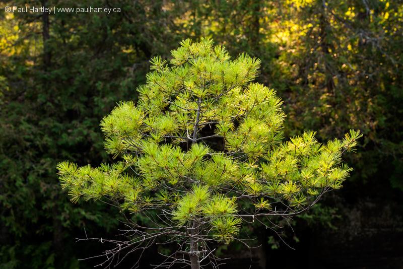 isolated pine trer