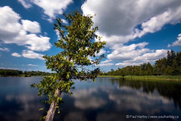Leaning Cedar Tree