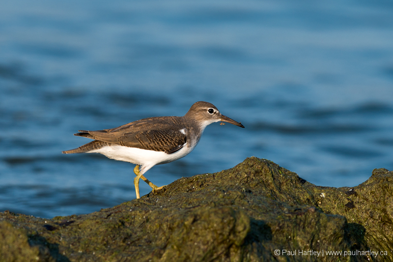Spotted Sandpiper searching a shoreline for food