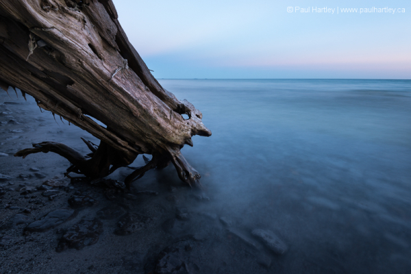 Leaning cedar tree on the shore of Lake Ontario