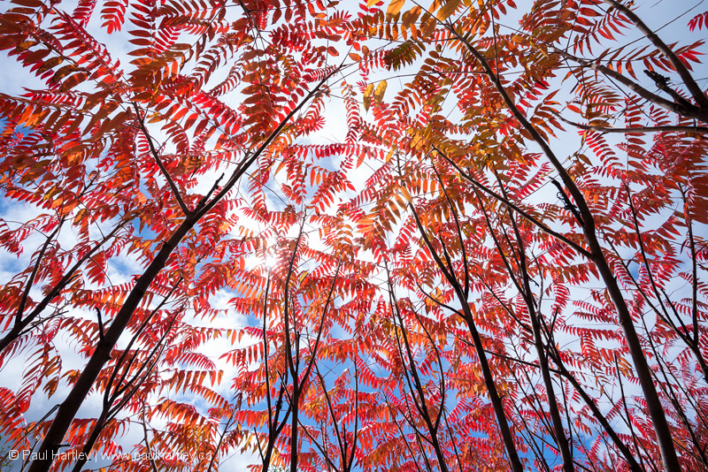 view of sumac canopy from below