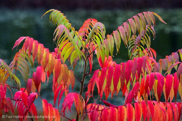 sumac bush in autumn vibrance