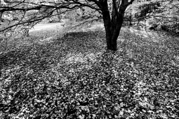 ground covered by fallen maple leaves in autumn