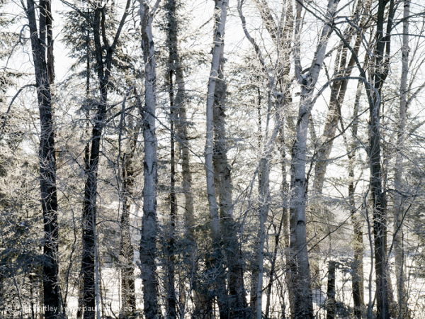 Trees and frost in morning light